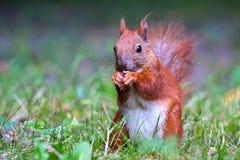 Rode Europees-Aziatische eekhoorn stock afbeeldingen