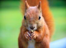 Rode Europees-Aziatische eekhoorn Stock Foto