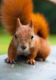 Rode Europees-Aziatische eekhoorn Stock Foto's