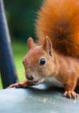 Rode Europees-Aziatische eekhoorn Royalty-vrije Stock Fotografie