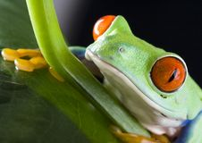 Rode eyed bladkikker royalty-vrije stock afbeeldingen