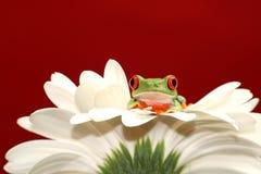 Rode eyed boomkikker en bloem Royalty-vrije Stock Foto's