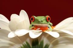 Rode eyed boomkikker en bloem Stock Foto's