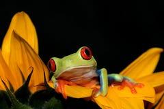 Rode eyed boomkikker en zonnebloem Royalty-vrije Stock Afbeeldingen