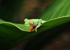 Rode eyed groene boomkikker, Costa Rica royalty-vrije stock afbeelding