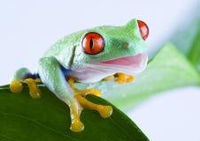 Rode eyed kikker royalty-vrije stock fotografie
