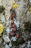 Rode firebugs op een schors Royalty-vrije Stock Fotografie