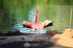 Rode flamingo Stock Foto's