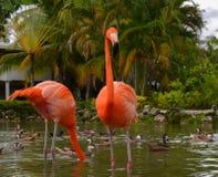 rode flamingo Royalty-vrije Stock Afbeelding