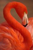 Rode flamingo stock afbeeldingen