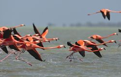 Rode Flamingo, American Flamingo, Phoenicopterus ruber. Rode Flamingo een groep opstijgend uit het water Mexico, American Flamingo a flock about to take-off from royalty free stock photo