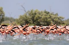 Rode Flamingo, American Flamingo, Phoenicopterus ruber. Rode Flamingo een groep opstijgend uit het water Mexico, American Flamingo a flock about to take-off from royalty free stock image
