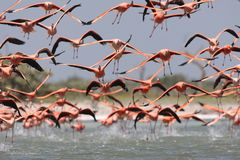 Rode Flamingo, American Flamingo, Phoenicopterus ruber. Rode Flamingo een groep opvliegend uit water Mexico, American Flamingo a flock about to take-off from stock photography