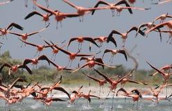 Rode Flamingo, American Flamingo, Phoenicopterus ruber royalty free stock images