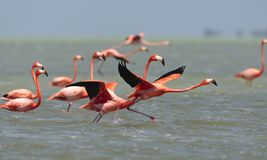 Rode Flamingo, American Flamingo, Phoenicopterus ruber. Rode Flamingo een groep opstijgend uit het water Mexico, American Flamingo a flock about to take-off from stock photo