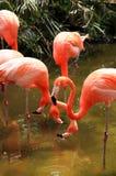 Rode flamingo in een park in Florida stock foto's