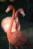 Rode flamingo's Stock Foto's