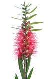 Rode flesseborstelbloemen op witte achtergrond Royalty-vrije Stock Fotografie