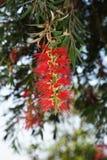 Rode flesseborstelboom stock afbeeldingen