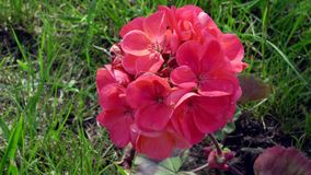 Rode floxbloemen onder gras Stock Foto
