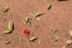 Rode Fluweelmijt Royalty-vrije Stock Foto