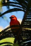 Rode Fody-vogel in natuurlijke habitat Stock Afbeeldingen