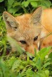 Rode foxfly die op groen gras rusten royalty-vrije stock foto's