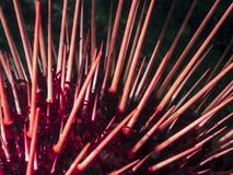 Rode franciscanus van Zeeëgelstrongylocentrotus stock foto