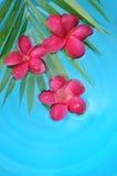 Rode frangipani in de pool Royalty-vrije Stock Fotografie