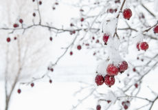 Rode Fruitboom tegen Witte Sneeuwachtergrond Royalty-vrije Stock Afbeeldingen