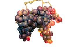 Rode geïsoleerde druif - royalty-vrije stock fotografie
