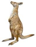 Rode Geïsoleerde Kangoeroe Royalty-vrije Stock Afbeeldingen