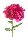 Rode geïsoleerde? pioenbloem Royalty-vrije Stock Afbeelding