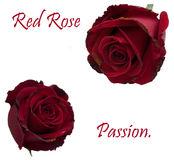 Rode geïsoleerde rozen Stock Foto