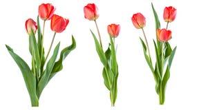 Rode geïsoleerde tulpen Stock Foto's
