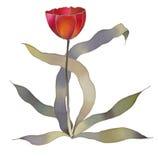 Rode geïsoleerdel tulp Stock Foto