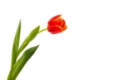Rode Geïsoleerdet Tulp stock afbeeldingen