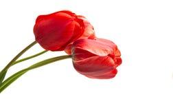 Rode Geïsoleerdet Tulp royalty-vrije stock afbeeldingen