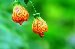 Rode geaderde abutilonbloemen Stock Fotografie