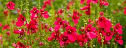 Rode gebiedsbloemen Stock Afbeelding