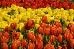 Rode geel van tulpen en rood stock fotografie