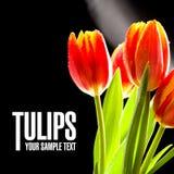 Rode geen tulpen de zwarte achtergrond Royalty-vrije Stock Fotografie