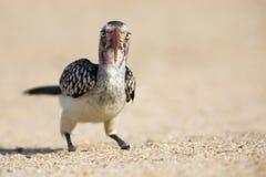 Rode Gefactureerde Hornbill-zitting op grond die te eten crumbs zoeken Stock Foto's