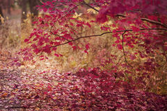 Rode gekleurde bladeren op boom en grond Royalty-vrije Stock Afbeeldingen