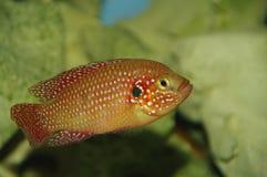 Rode gekleurde Cichlid Stock Foto