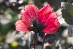 Rode gekleurde Enige Dahliabloem met waterdalingen op bloemblaadjes Achter mening royalty-vrije stock foto