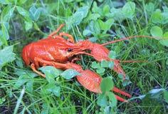 Rode gekookte rivierkreeften Stock Foto's