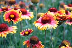 Rode gele bloemen royalty-vrije stock foto's