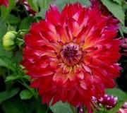 Rode gele dahlia in tuin stock fotografie