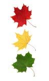 Rode, gele en groene esdoornbladeren Stock Afbeeldingen